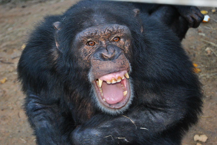 Throwing Chimpanzees – The History of Words & Violence